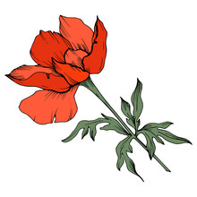 Vector Red Anemone Floral Botanical Flowers. Black And White Engraved Ink Art. Isolated Anemone Illustration Element.