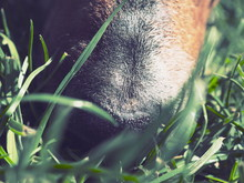 Dog Nose Sniffing In Grass