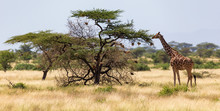 Giraffes Eat Leaves From The A...