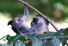 Two Monkeys Play Together On A Tree