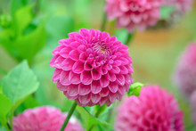 Pink Dahlia With Green Backgro...