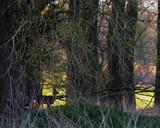 Silhouette of roe deer buck standing in forest. - 264545409