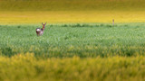 Single roe deer in meadow at dusk. - 264545412
