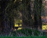 Silhouette of roe deer buck standing in forest. - 264545413