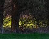 Silhouette of two roe deer standing in forest. - 264545414