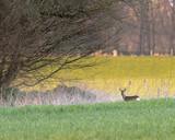 Roe deer goat in grass at edge of bush. - 264545419