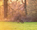 Grazing roe deer in meadow near forest during sunset. - 264545423