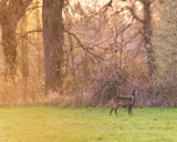 Roe deer in meadow near forest during sunset. - 264545433