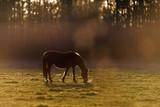 Grazing horse in backlight of evening sun. - 264545434