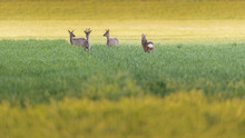 Four Roe Deer In Meadow At Dusk.
