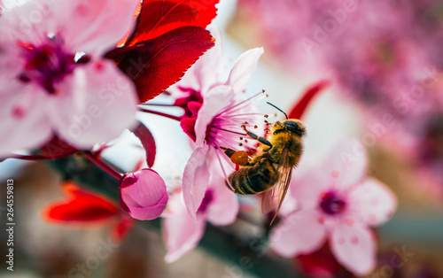 Poster Bee Pink petal flowers, cherry tree blossom, honey bee collect pollen. Springtime in Japan.
