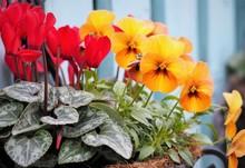 Colorful Pansy Pot