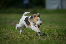 Young Fox Terrier Is Jumping And Running Actively In A Park