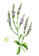 Healing Verbena Officinalis Pl...