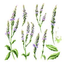 Healing Verbena Officinalis Se...