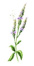 Healing Verbena Officinalis. W...