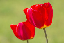 Close Up Of Two Red Tulips