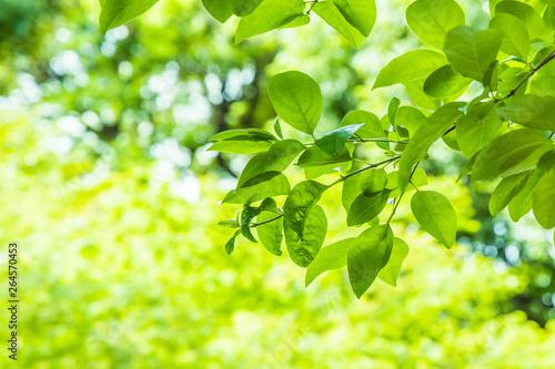 Obraz 新緑の葉 - fototapety do salonu