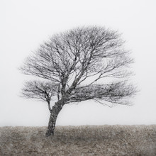 Lone Tree In Snow Storm