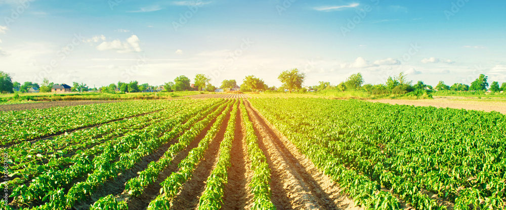 Fototapety, obrazy: vegetable rows of pepper grow in the field. farming, agriculture. Landscape with agricultural land. banner. selective focus