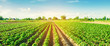 vegetable rows of pepper grow in the field. farming, agriculture. Landscape with agricultural land. banner. selective focus