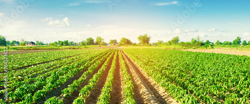 Papiers peints Culture vegetable rows of pepper grow in the field. farming, agriculture. Landscape with agricultural land. banner. selective focus