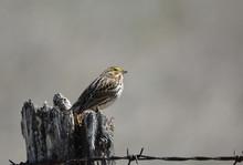 Savannah Sparrow On Fence Post