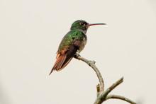 Rufous Tailed Hummingbird Rest...