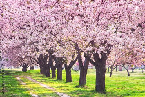 Fototapeta 桜の並木 千曲川河川公園・長野県小布施町