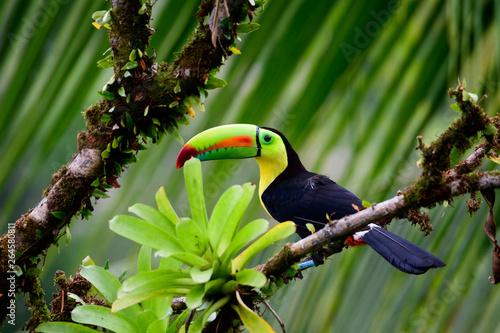 Foto op Canvas Toekan Keel billed Toucan in a tree