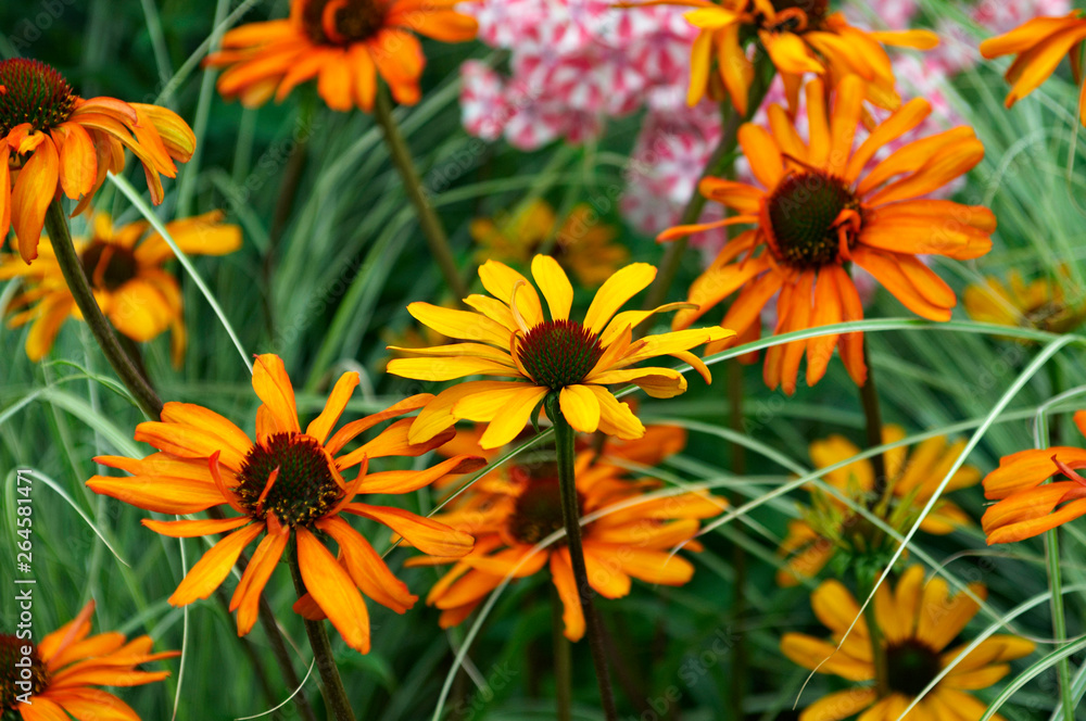 Detail of flower border with colourful Echinacea 'Tiki Torch'