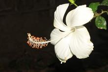 Bright White Hibiscus Against Dark Background