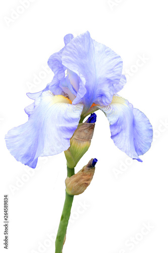 Foto auf Leinwand Iris Iris pallida flower plant cut out and isolated on a white background