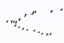 Flock Of Migration White-front...