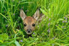 Western Roe Deer In Meadow, Fa...