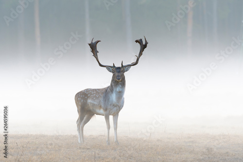 Poster Cerf Fallow deer (Cervus dama) on misty morning, Germany, Europe