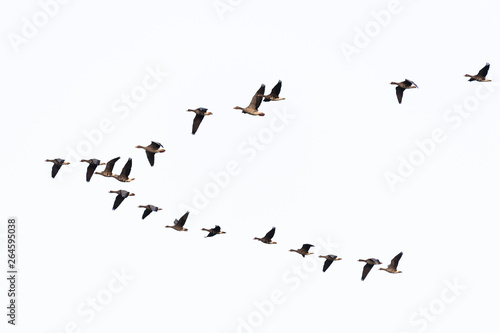 Fotografia Flock of migration white-fronted geese flying in V-formation, Germany, Europe