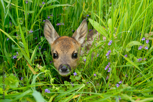 Spoed Foto op Canvas Ree Western roe deer in meadow, Fawn, Germany, Europe