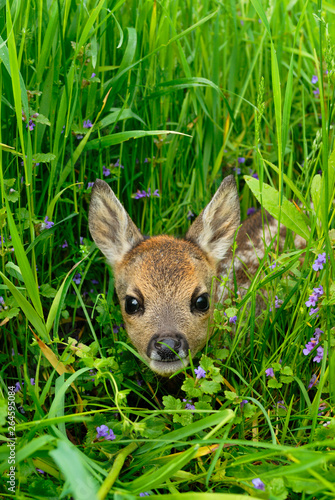 Fotobehang Ree Western roe deer in meadow, Fawn, Germany, Europe