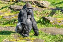 Gorilla Is Watching Everything