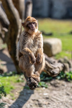 Berber Monkey Is Sitting On A Branch