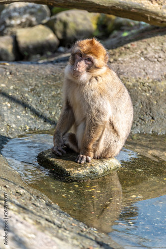 Garden Poster Parrot berber monkey is sitting in a puddle with water