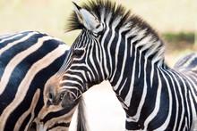 Black And White Wild Zebra In Africa