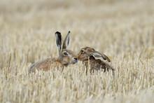European Brown Hares On Stubbl...