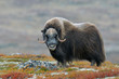 canvas print picture - Muskox (Ovibos moschatus), Bull, Dovrefjell National Park, Norway, Europe