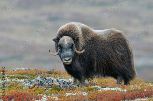 Muskox (Ovibos moschatus), Bull, Dovrefjell National Park, Norway, Europe