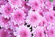 Beautiful Pink Chrysanthemum B...