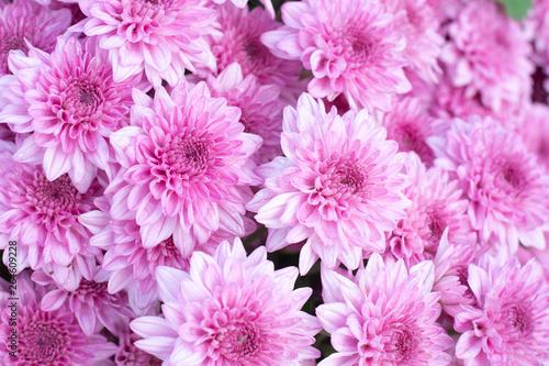 Canvas Beautiful pink chrysanthemum background