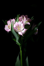 Alstroemeria Peruvian Pink And White Lily On Black Background