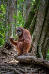 orangutanes en la selva de ...